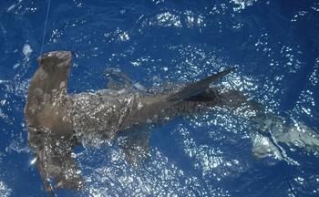 21/08 hammerhead shark Cavalier & Blue Marlin Sport Fishing Gran Canaria