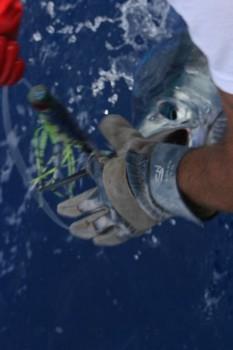 Spearfsh Cavalier & Blue Marlin Sport Fishing Gran Canaria