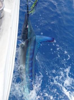 21/06 Spearfish Cavalier & Blue Marlin Sport Fishing Gran Canaria