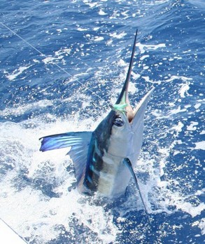 16/07 Spearfish - Spearfish released by Cees Pipping from Holland Cavalier & Blue Marlin Sport Fishing Gran Canaria