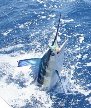 16/07 Spearfish - Spearfish lanzado por Cees Pipping de Holanda Pesca Deportiva Cavalier & Blue Marlin Gran Canaria