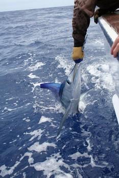Pez lanza Pesca Deportiva Cavalier & Blue Marlin Gran Canaria