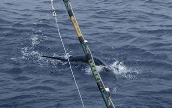 Please Release Me ? Cavalier & Blue Marlin Sport Fishing Gran Canaria