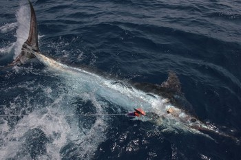 425 kg Released Cavalier & Blue Marlin Sport Fishing Gran Canaria