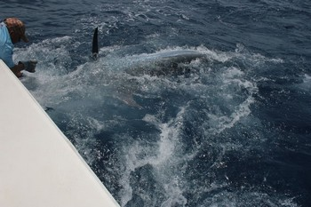 425 kg Cavalier & Blue Marlin Sport Fishing Gran Canaria