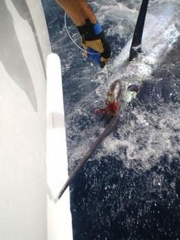 Release Me 2 Cavalier & Blue Marlin Sport Fishing Gran Canaria