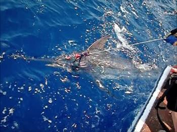 02/07 Blue Marlin Cavalier & Blue Marlin Sport Fishing Gran Canaria