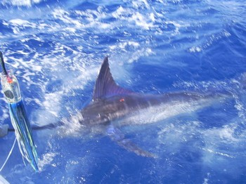 Tagged & Released Cavalier & Blue Marlin Sport Fishing Gran Canaria