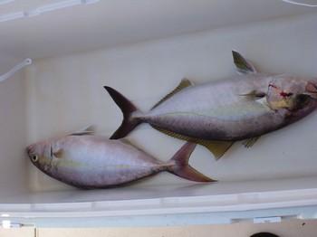 Amberjacks Cavalier & Blue Marlin Sport Fishing Gran Canaria