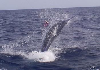 18/05 Blue Marlin Cavalier & Blue Marlin Sport Fishing Gran Canaria