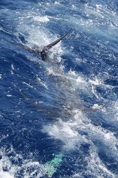 24/05 Blue Marlin Cavalier & Blue Marlin Sport Fishing Gran Canaria