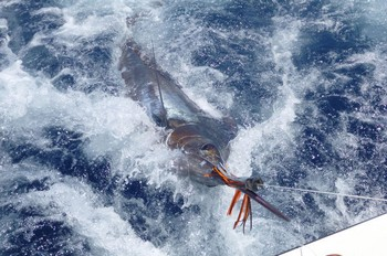 06/06 Blue Marlin Cavalier & Blue Marlin Sport Fishing Gran Canaria