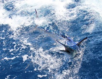 16/06 White Marlin Cavalier & Blue Marlin Sport Fishing Gran Canaria