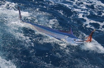 18/06 Spearfish Cavalier & Blue Marlin Sport Fishing Gran Canaria