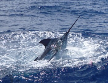 21/06 Blue Marlin - Blue Marlin caught and released by Dai Perkins Cavalier & Blue Marlin Sport Fishing Gran Canaria