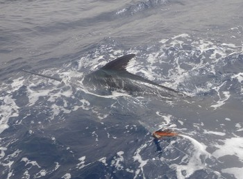 26/06 Blue Marlin Cavalier & Blue Marlin Sport Fishing Gran Canaria