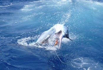05/07 Jumping Blue Cavalier & Blue Marlin Sport Fishing Gran Canaria