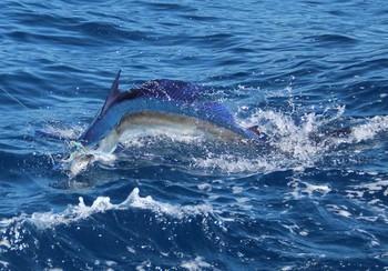 25/07 White Marlin Cavalier & Blue Marlin Sport Fishing Gran Canaria