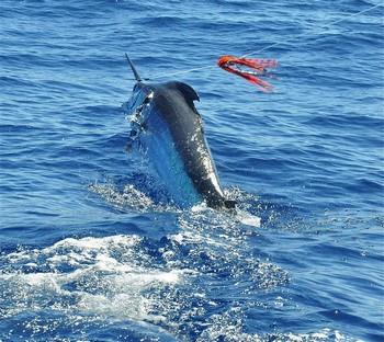27/07 Jumping Blue Cavalier & Blue Marlin Sport Fishing Gran Canaria