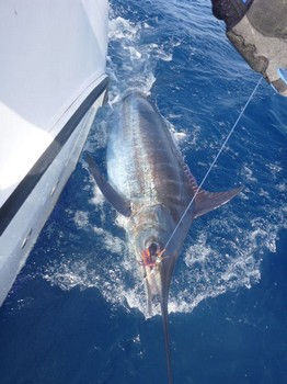 Blue Marlin 150 kg Cavalier & Blue Marlin Sport Fishing Gran Canaria