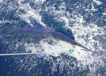 Shortbill Spearfish Cavalier & Blue Marlin Sport Fishing Gran Canaria