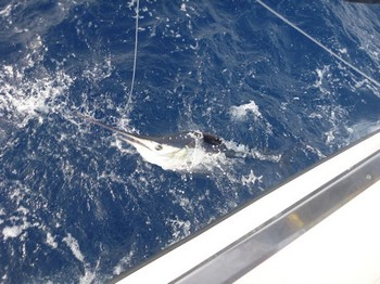 Longbill Spearfish Cavalier & Blue Marlin Sport Fishing Gran Canaria