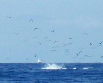 Beautiful jumps Cavalier & Blue Marlin Sport Fishing Gran Canaria