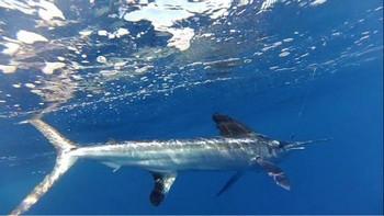 Underwater Photo Cavalier & Blue Marlin Sport Fishing Gran Canaria