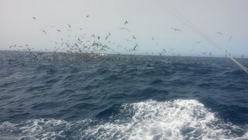 Hunting birds Cavalier & Blue Marlin Sport Fishing Gran Canaria