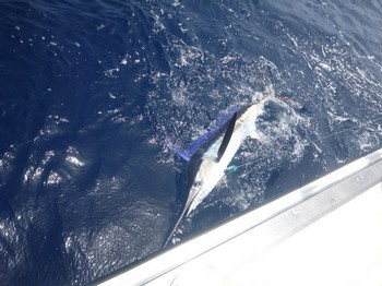 Spear fish Cavalier & Blue Marlin Sport Fishing Gran Canaria