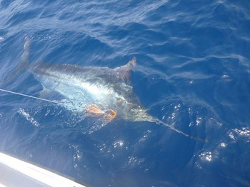 550 lb Blue Marlin Cavalier & Blue Marlin Sport Fishing Gran Canaria
