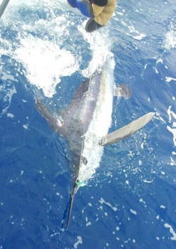 White Marlin released on the boat Cavalier Cavalier & Blue Marlin Sport Fishing Gran Canaria