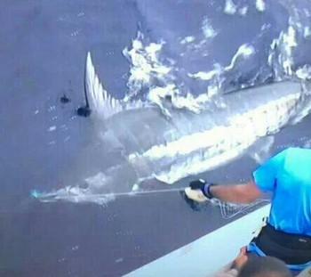 380 kg Blue Marlin released by Frank Mendrzyk from Germany Cavalier & Blue Marlin Sport Fishing Gran Canaria