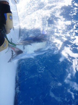 White Marlin released by Sytse van der Velde from Holland Cavalier & Blue Marlin Sport Fishing Gran Canaria