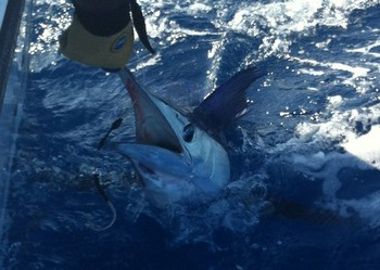 Release Me !!! - Released by Sytse van der Velde from Holland Cavalier & Blue Marlin Sport Fishing Gran Canaria