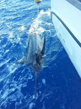Blue Marlin ready for release Cavalier & Blue Marlin Sport Fishing Gran Canaria