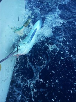 White Marlin ready to release ! Cavalier & Blue Marlin Sport Fishing Gran Canaria