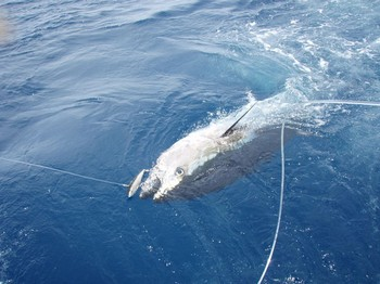 Bluefin Tuna 260kg - Bluefin Tuna - tagged & released - 260 kg Cavalier & Blue Marlin Sport Fishing Gran Canaria