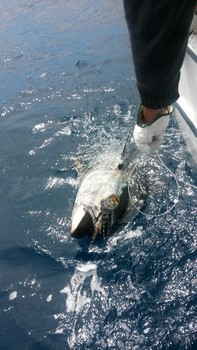 180 kg Blue fin tuna released on the boat Cavalier Cavalier & Blue Marlin Sport Fishing Gran Canaria