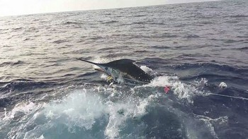 Blue Marlin behind the boat Cavalier Cavalier & Blue Marlin Sport Fishing Gran Canaria