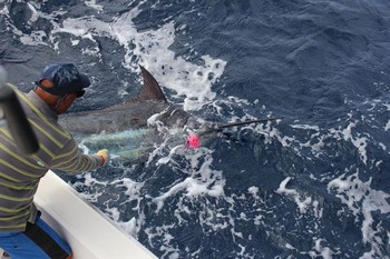 Blue Marlin - Tagged Blue Marlin Cavalier & Blue Marlin Sport Fishing Gran Canaria