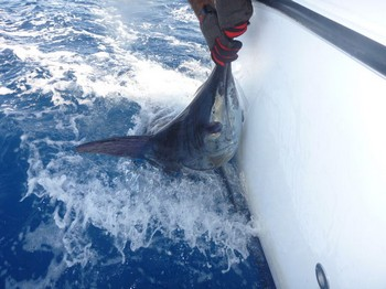 140 kg Blue Marlin - Blue Marlin caught and released  by Stephan Mostrom Cavalier & Blue Marlin Sport Fishing Gran Canaria