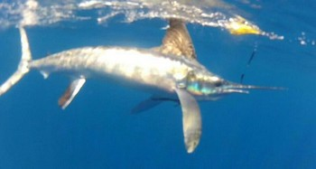 White Marlin released by Anita Miller from England Cavalier & Blue Marlin Sport Fishing Gran Canaria
