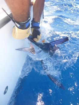 25 kg White Marlin tagged & released by Christian Arbild from Denmark Cavalier & Blue Marlin Sport Fishing Gran Canaria