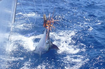 White Marlin released by the boat Cavalier Cavalier & Blue Marlin Sport Fishing Gran Canaria