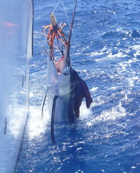 White Marlin - Beautifull White Marlin Cavalier & Blue Marlin Sport Fishing Gran Canaria