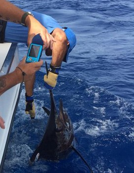 Blue Marlin caught by Sander Pipping on the boat Cavalier Cavalier & Blue Marlin Sport Fishing Gran Canaria