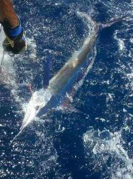 White Marlin released by Steven Blues from Schotland. Cavalier & Blue Marlin Sport Fishing Gran Canaria