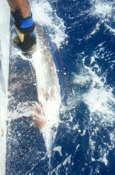 Short bill Spear fish - Short bill Spearfish on the boat Cavalier Cavalier & Blue Marlin Sport Fishing Gran Canaria