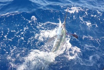 50 lb White Marlin released by Sander Martins Cavalier & Blue Marlin Sport Fishing Gran Canaria